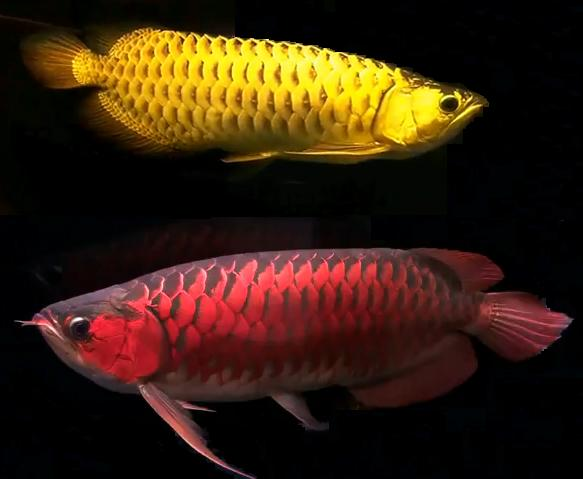 Pet fish the arowana fish for Dragon fish for sale