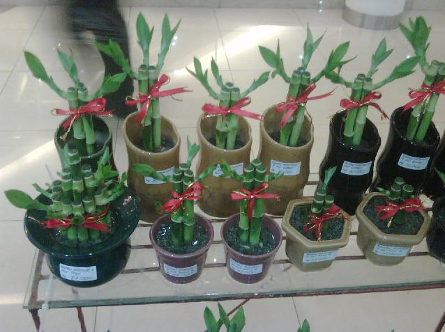 Chinese Lucky Bamboo Plants  Feng Shui Bamboo Placement